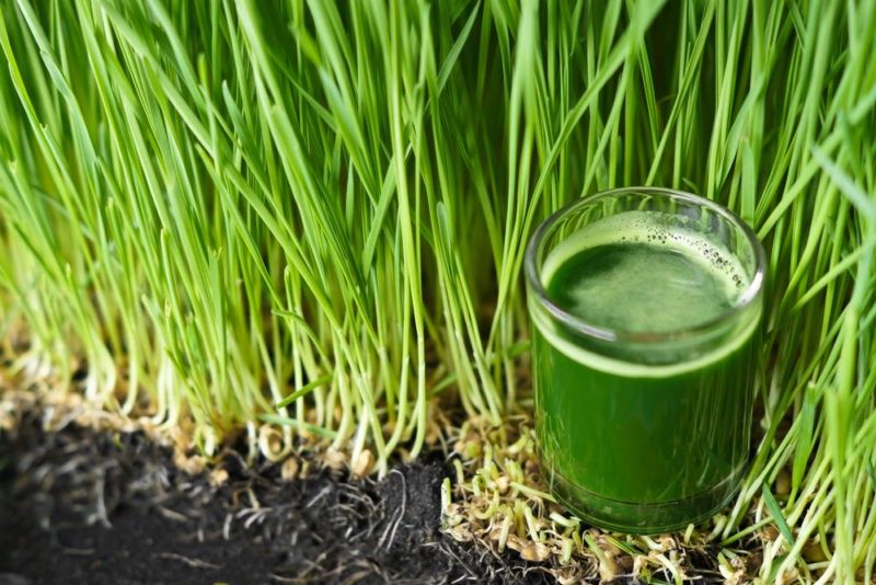 Kviečių želmenys: kaip auginti, kaip vartoti ir kokia jų nauda organizmui