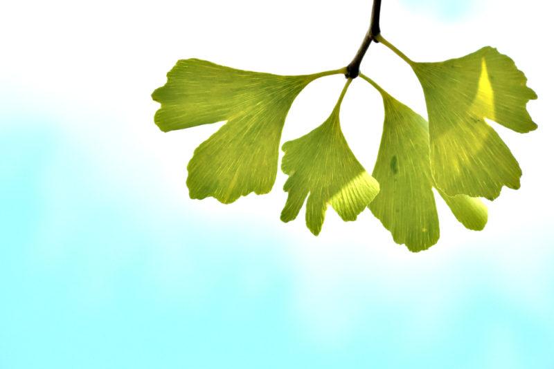 Ginkmedžio ekstraktas: tūkstančių metų senumo augalas, padedantis nuo 100 ligų